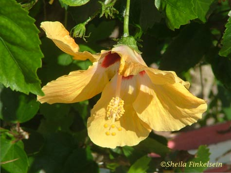 yellow hibiscus firts with us