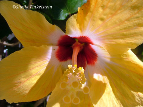 close up of inside of yellow hibiscus