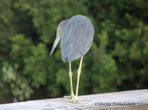 little blue heron - rear view