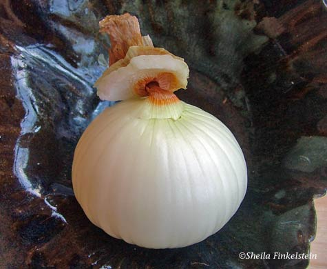 Peeling the layers of the stem of the Vidalia onion