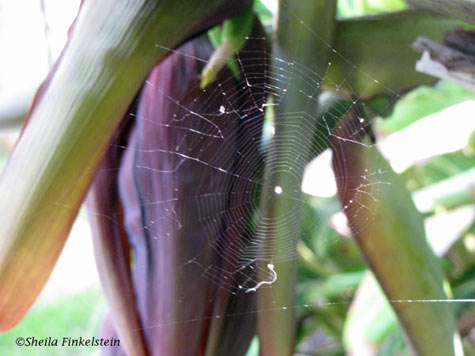 Spider Web in Banana Tree