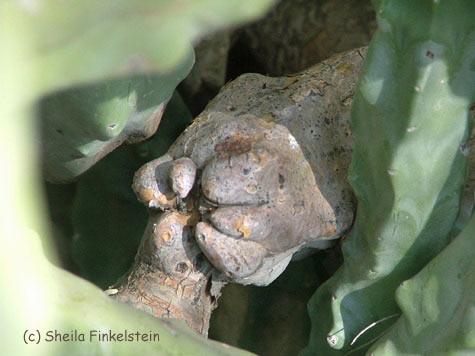 Cactus Turtle of Fist