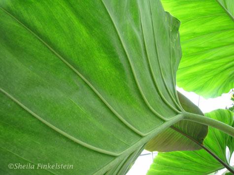 Back-Lit Philodendren leaves