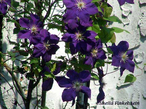 Purple Flowers in front of Wall